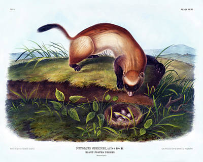 Black-footed Ferret Painting - Black Footed Ferret Antique Print Audubon Quadrupeds Of North America Plate 93 by Orchard Arts