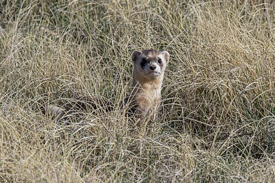 Black-footed Ferret Photograph - Black-footed Ferret Checks Out Its Surroundings by Tony Hake