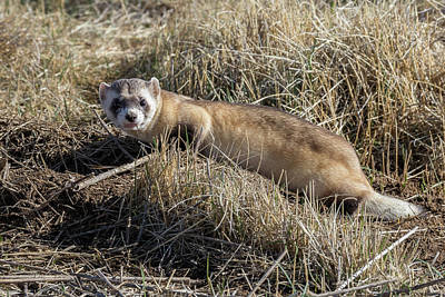 Black-footed Ferret Photograph - Black-footed Ferret On The Prowl by Tony Hake