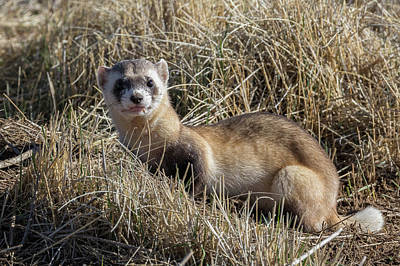 Black-footed Ferret Photograph - Black-footed Ferret Poses by Tony Hake