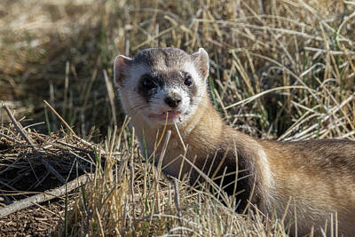 Black-footed Ferret Photograph - Black-footed Ferret Up Close by Tony Hake