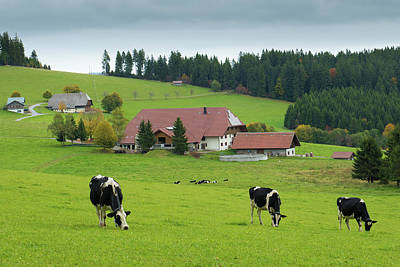 Lamborghini Cars - Black Forest Cows Schwarzwald Germany by Matthias Hauser