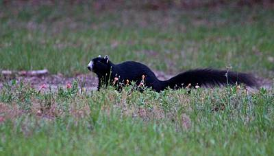 Photograph - Black Fox Squirrel by Cynthia Guinn