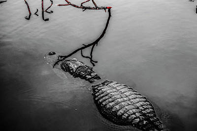 Photograph - Black Gator by Josy Cue