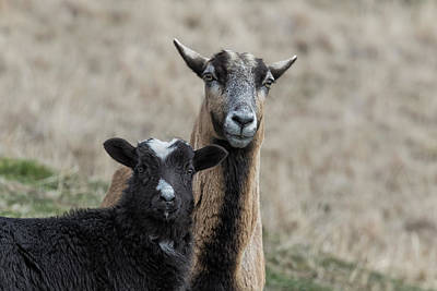 Photograph - Black Goat And Barbados Blackbelly Sheep, No. 1 by Belinda Greb