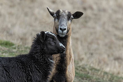 Photograph - Black Goat And Barbados Blackbelly Sheep, No. 2 by Belinda Greb