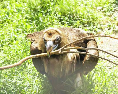 Photograph - Black Griffon - Black Vulture by Irina Afonskaya