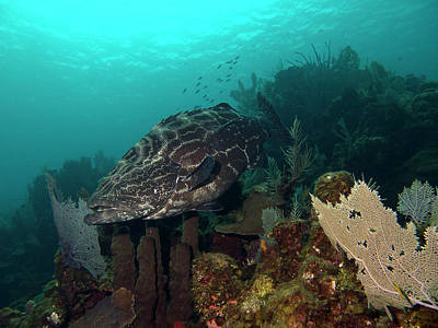 Photograph - Black Grouper Hanging Out by Mauricio Riquelme