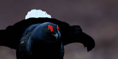 Photograph - Black Grouse Portait by Peter Walkden
