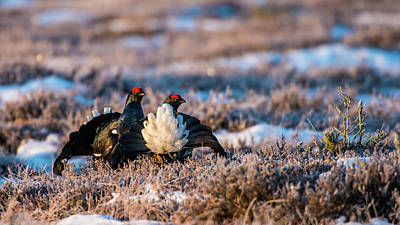 Photograph - Black Grouses by Torbjorn Swenelius