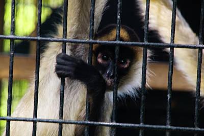 Photograph - Black-handed Spider Monkey by Kathleen Stephens