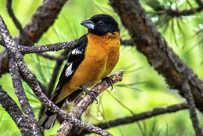 Photograph - Black-headed Grosbeak by Marilyn Burton