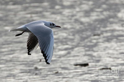Photograph - Black Headed Gull by Brian Roscorla