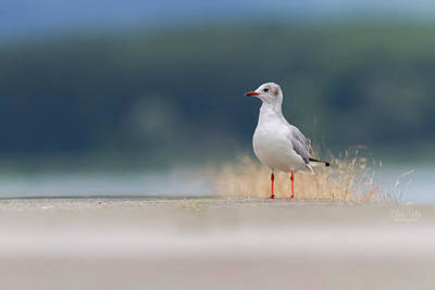 Photograph - Black-headed Gull, Chroicocephalus Ridibundus, On The Ground by Elenarts - Elena Duvernay photo