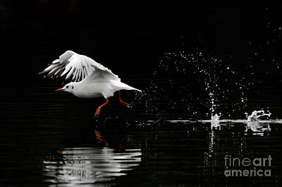 Photograph - Black-headed Gull - Low Key by Paul Farnfield
