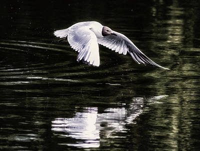 Waterbirds Photograph - Black Headed Gull by Martin Newman
