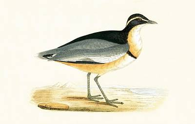 Lapwing Painting - Black Headed Plover by English School