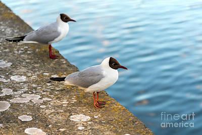 Photograph - Black Headed Seagulls by Antony McAulay