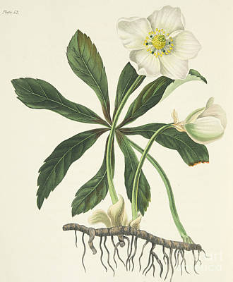 Colorful Drawing - Black Hellebore Or Christmas Rose by Margaret Roscoe