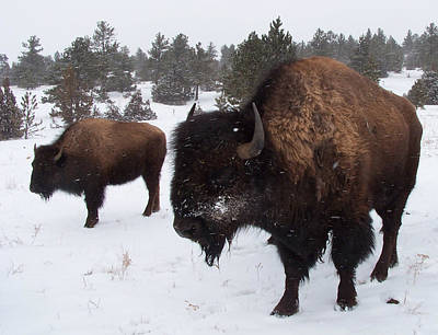 Photograph - Black Hills Bison by JK Dooley