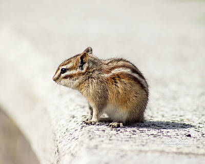 Photograph - Black Hills Chipmunk by Mike Braun