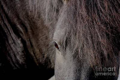 Photograph - Black Horse Of Iceland by Mary-Lee Sanders