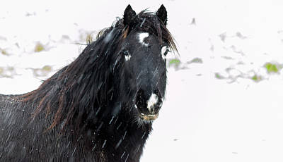 Photograph - Black Horse Staring In The Snow by Scott Lyons