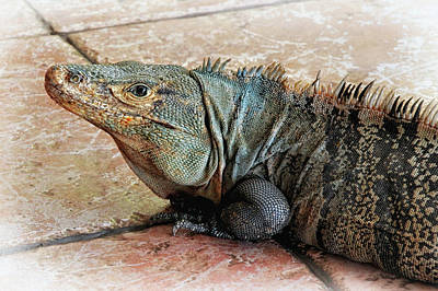 Photograph - Black Iguana by Carolyn Derstine