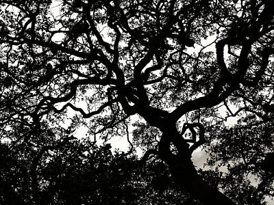 Photograph - Black Jack Oak by Marilyn Hunt