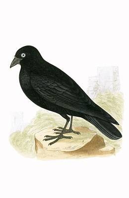 Blackbird Drawing - Black Jackdaw by English School