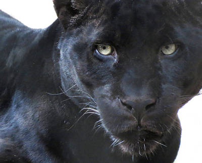 Photograph - Black Jaguar by Laurel Powell