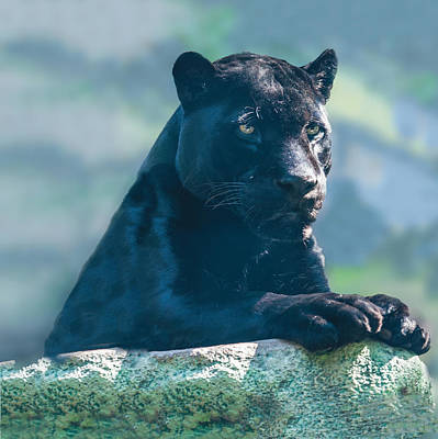 Photograph - Black Jaguar Portrait by William Bitman