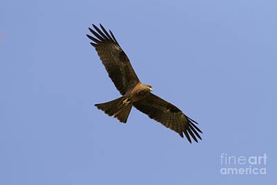 Black Kite Photograph - Black Kite by Bernd Rohrschneider/FLPA
