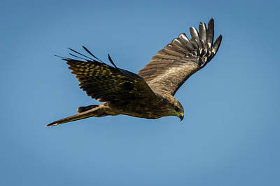 Photograph - Black Kite  by Darren Wilkes