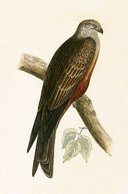Birds Of Prey Drawing - Black Kite by English School