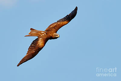 Photograph - Black Kite by Nick  Biemans