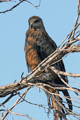 Photograph - Black Kite by Tony Brown