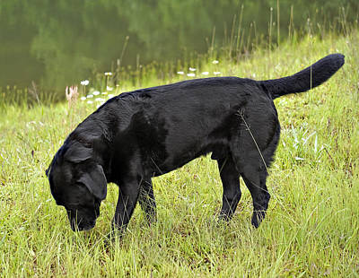 Photograph - Black Lab In Grass by Susan Leggett