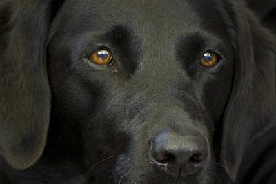 Photograph - Black Labrador Dog by Pixie Copley