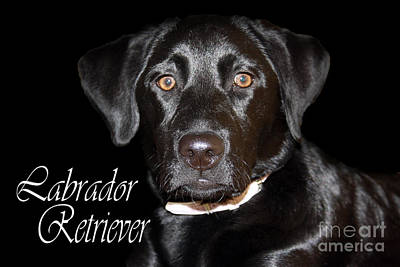 Photograph - Black Labrador Retriever Portrait by Cathy Beharriell
