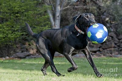 Black Labrador Retrieving Soccer Ball Art Print by William H Mullins