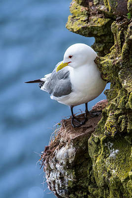 Photograph - Black-legged Kittiwake by Arterra Picture Library