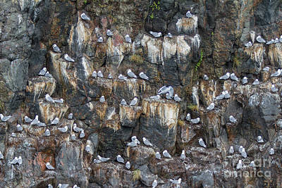 Photograph - Black-legged Kittiwakes by Chris Scroggins