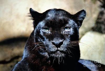 Photograph - Black Leopard Portrait by Savannah Gibbs