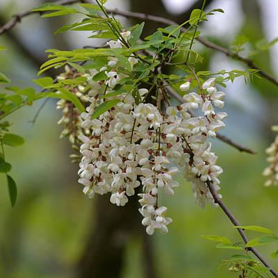 Photograph - Black Locust Blossoms - Robinia Pseudoacacia by rd Erickson