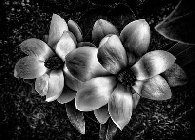 Photograph - Black Magnolias by Phyllis Taylor