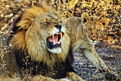 Photograph - Black-maned Lion And Cub by Kay Brewer