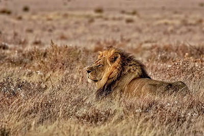 Photograph - Black-maned Lion Of The Kalahari by Kay Brewer