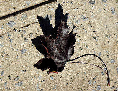 Photograph - Black Maple by Cate Franklyn