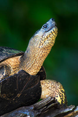Tortuguero Photograph - Black Marsh Turtle Siebenrockiella by Panoramic Images